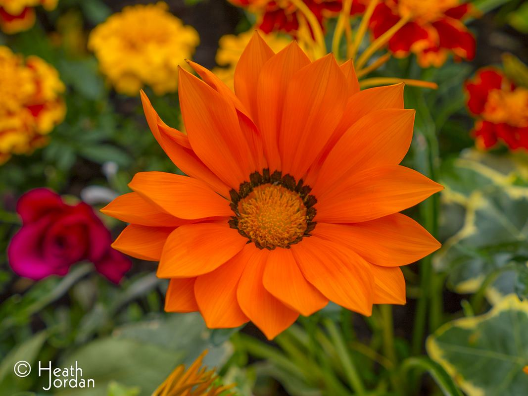 Orange Gazania Flower
