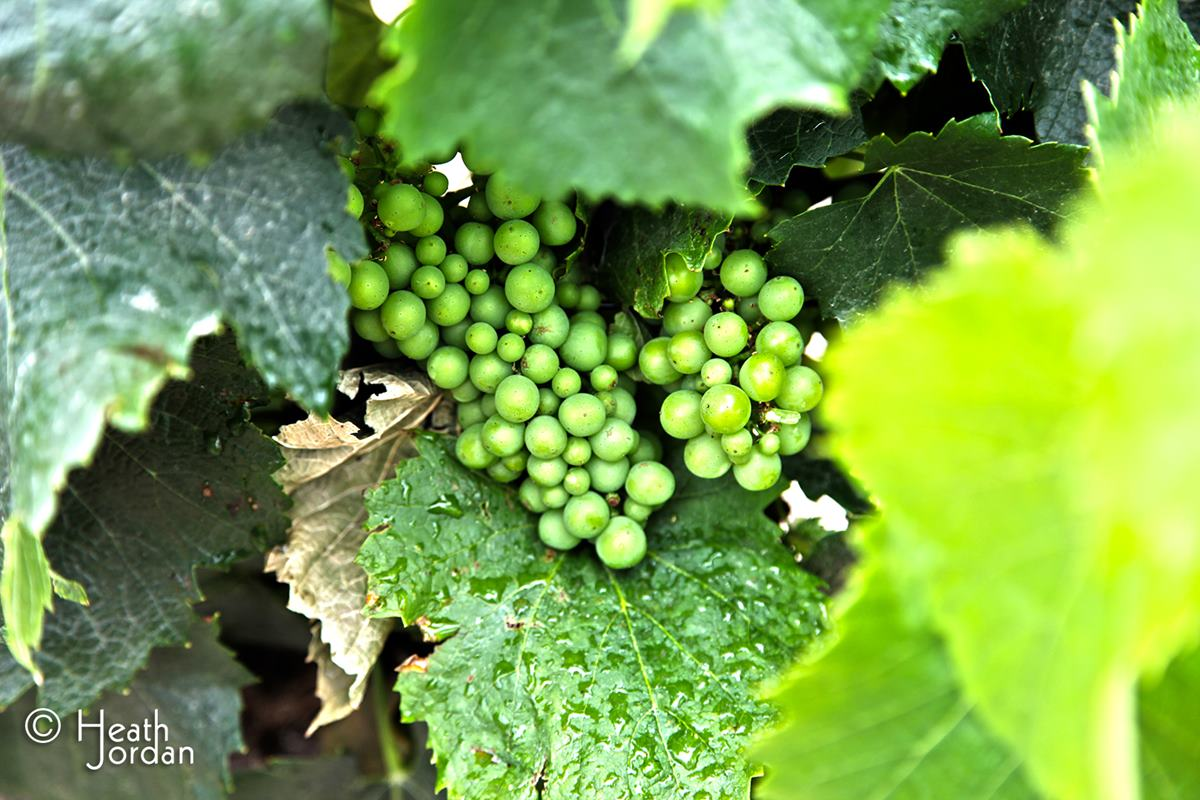 Sonoma-Wine-Grapes