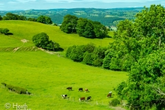 Cows-Wales-Country-Side-2