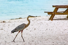 Herron-on-the-Beach